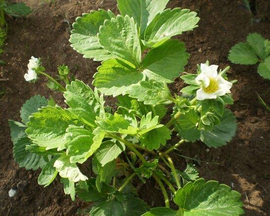 2 бюджетных средства (марганцовка, борная кислота) для получения богатого урожая клубники, которые садоводы забывают
