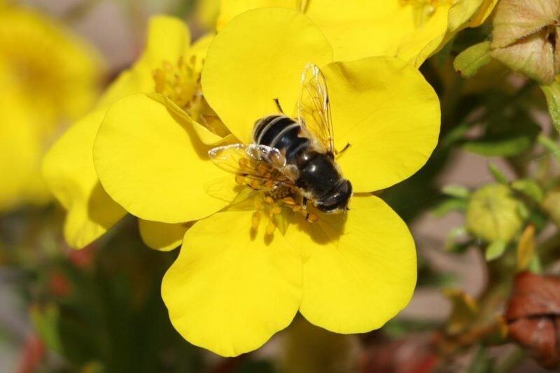 Пчела на лапчатке. Иллюстрация для статьи используется по стандартной лицензии ©life-hacky.ru
