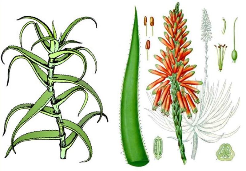 Как цветет алоэ. иллюстрация с сайта znaysad.ru