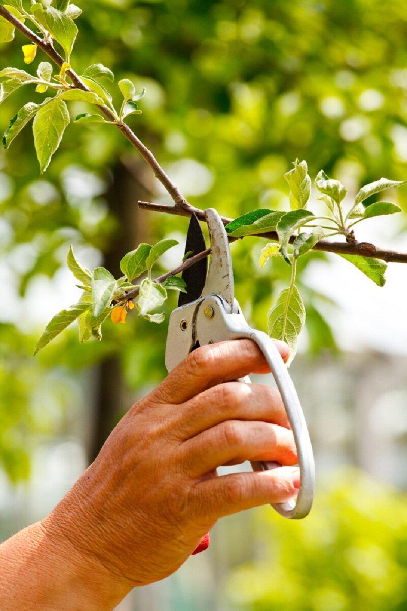 Обрезка яблони. Иллюстрация для статьи используется по стандартной лицензии ©life-hacky.ru