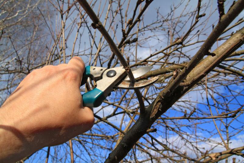 Обрезка плодовых деревьев. Иллюстрация для статьи используется по стандартной лицензии ©life-hacky.ru
