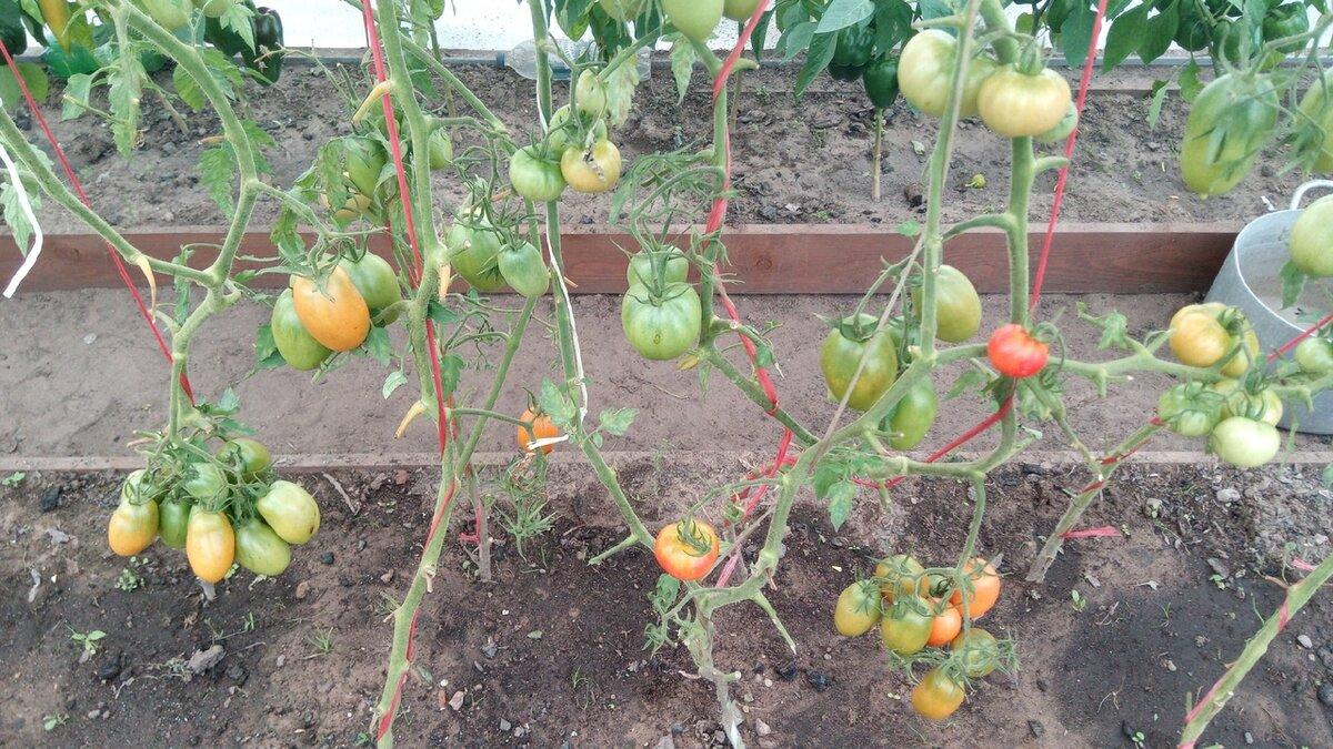 Что сделать, чтобы подготовить теплицу в сентябре к будущему сезону. Мероприятия, которые приведут к отменному урожаю томатов