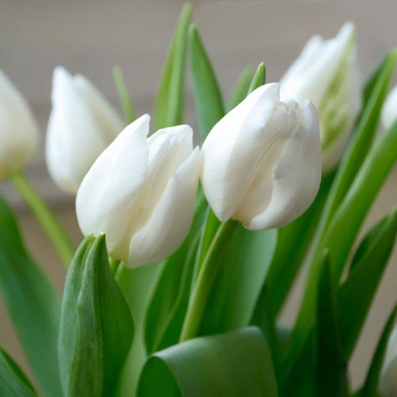 Белые тюльпаны. Иллюстрация для статьи используется по стандартной лицензии ©life-hacky.ru