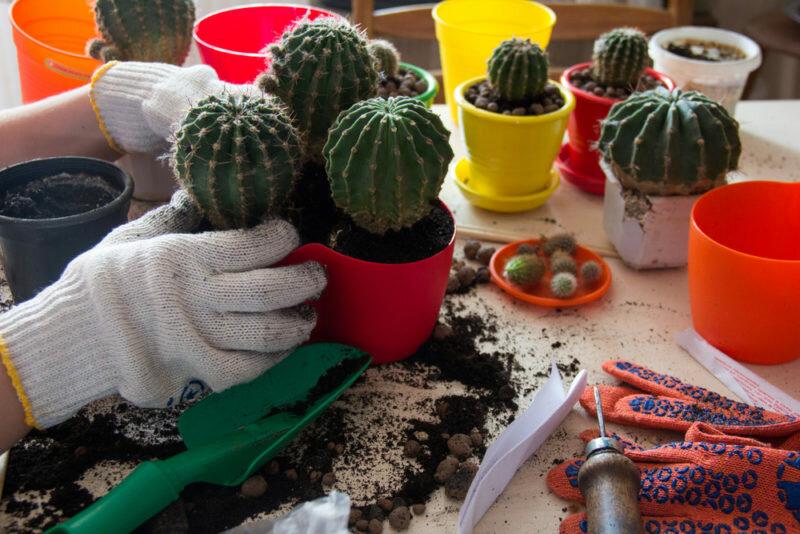 Пересадка кактусов. Иллюстрация для статьи используется по стандартной лицензии ©life-hacky.ru