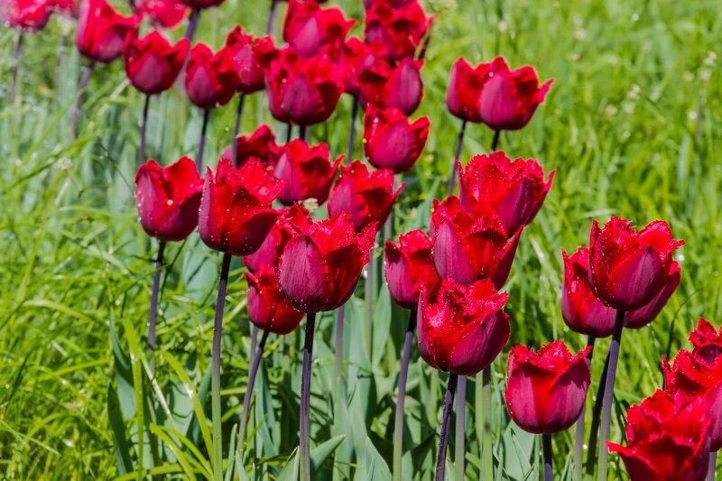 Прекрасные тюльпаны. Иллюстрация для статьи используется по стандартной лицензии ©life-hacky.ru