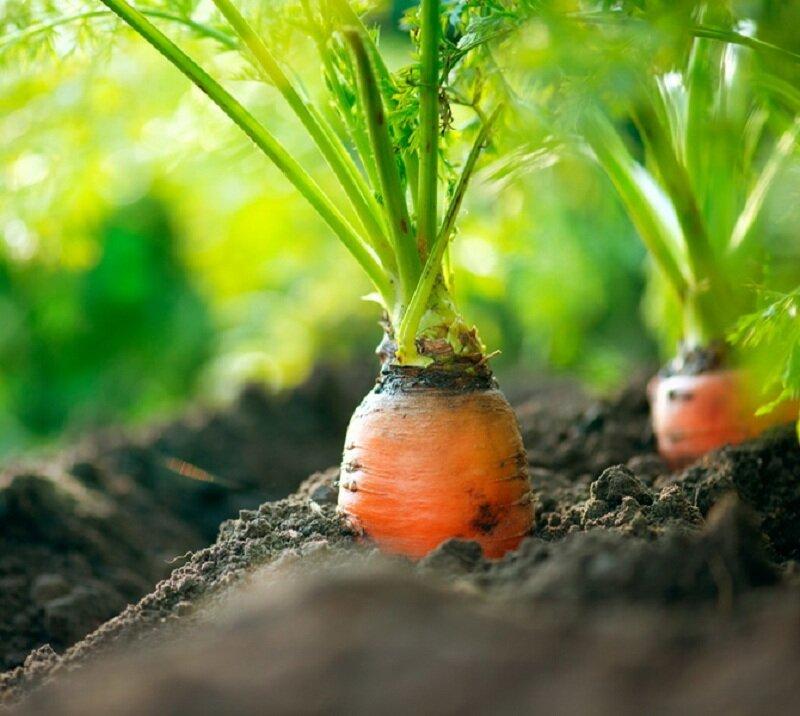 Морковь можно сажать после лука. Иллюстрация для статьи используется по стандартной лицензии ©life-hacky.ru