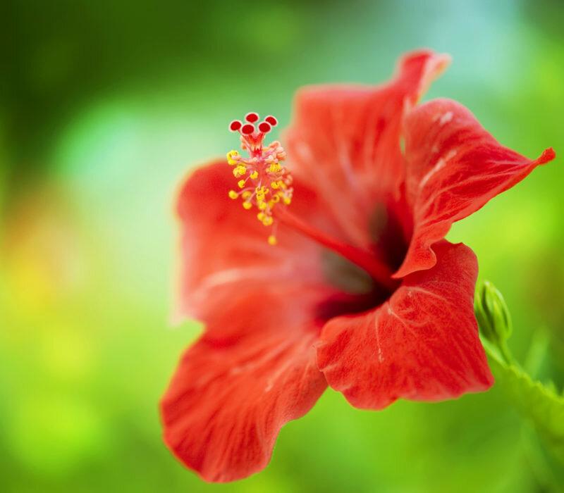 Гибискус – Китайская роза. Иллюстрация для статьи используется по стандартной лицензии ©life-hacky.ru