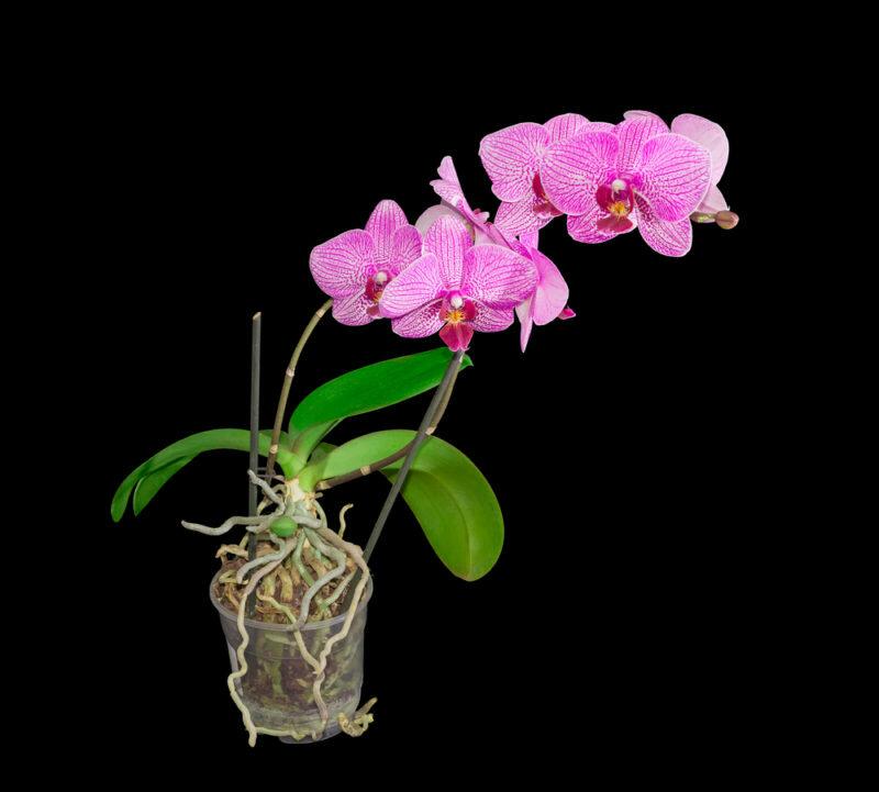 Орхидея. Иллюстрация для статьи используется по стандартной лицензии ©life-hacky.ru