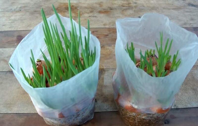 Выращивание лука без земли. Иллюстрация из открытых источников