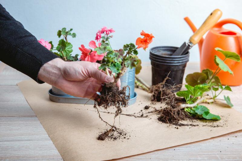 Уход за комнатными растениями. Иллюстрация для статьи используется по стандартной лицензии ©life-hacky.ru