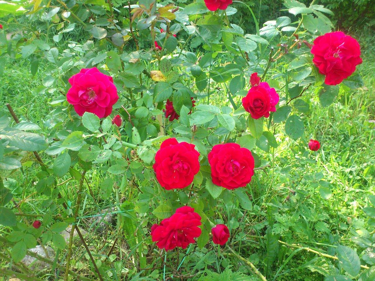 розы в нашем саду.