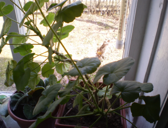 Зимний уход за геранью: как сохранить пеларгонию до весны