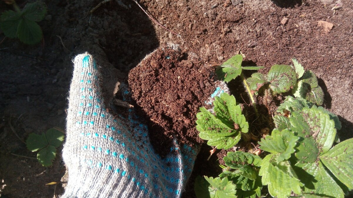 Чем подкормить клубнику ранней весной, чтобы получить летом много сочных ягод. Другие важные мероприятия