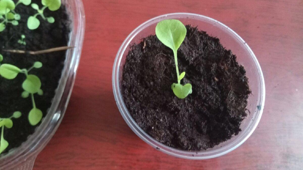 Чем подкормить петунии в стадии рассады, когда пикировать и подкармливать