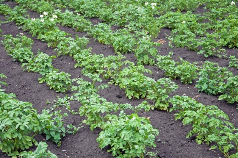Выращивание картофеля. Иллюстрация для статьи используется по стандартной лицензии ©life-hacky.ru