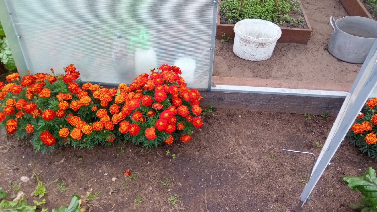 Чем помыть теплицу перед посадками весной (обеззараживание почвы, поликарбоната). Рассказываю о простых и действенных средствах
