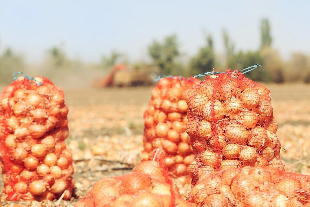 Секреты большого урожая лука. Иллюстрация для статьи используется по стандартной лицензии ©life-hacky.ru