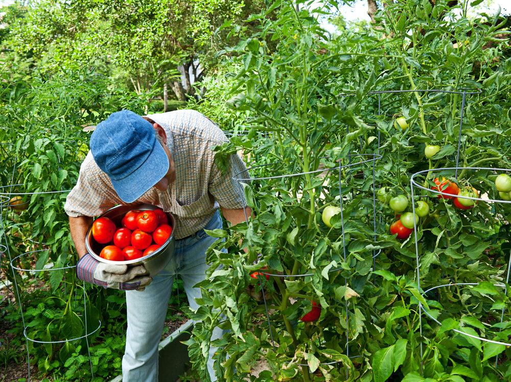 Выращивание томатов по методике Казарина. Иллюстрация для статьи используется по стандартной лицензии ©life-hacky.ru