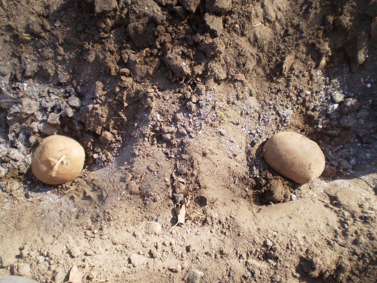 Золотые правила подготовки клубней картофеля к высадке: урожай увеличиваем в 2 раза